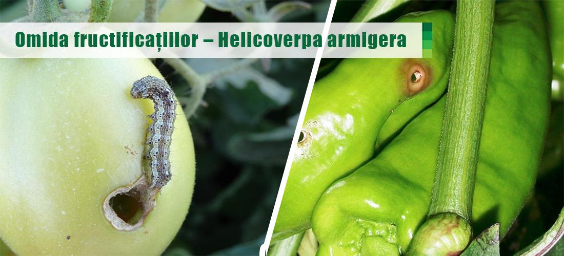 Omida fructificațiilor – Helicoverpa armigera